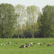 Kühe am Niederrhein